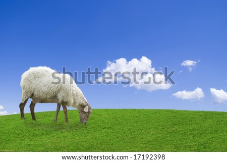 White sheep in a green grass against a blue sky