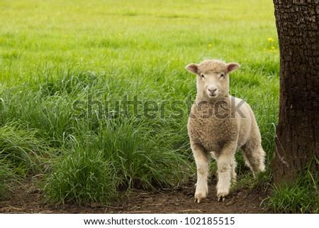White Sheep Lamb standing in pasture beside tree - stock photo