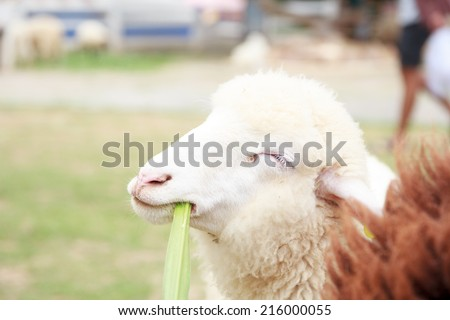 White Sheep looks happy - stock photo