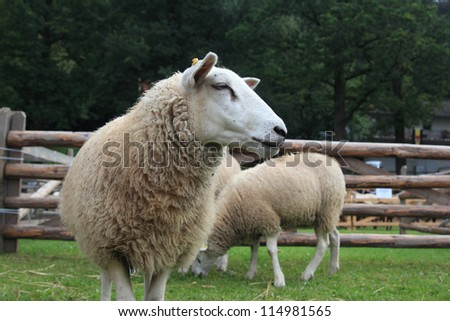 white sheep standing on a meadow - stock photo