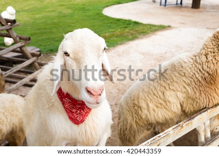 White sheep tied a red scarf in farm. - stock photo