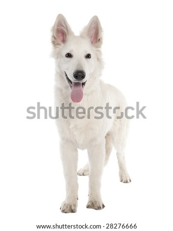 White Shepherd Dog puppy (5 months old) in front of a white background - stock photo