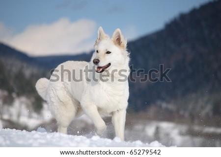White Shepherd in the mountains Weisser Schweizer Schäferhund  Berger Blanc Suisse  Amerikanisch Kanadischer Schäferhund - stock photo