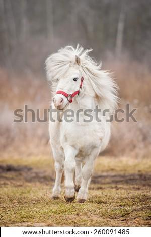 White shetland pony running - stock photo
