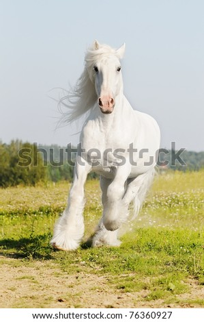 white Shire stallion runs gallop on the meadow in summer - stock photo