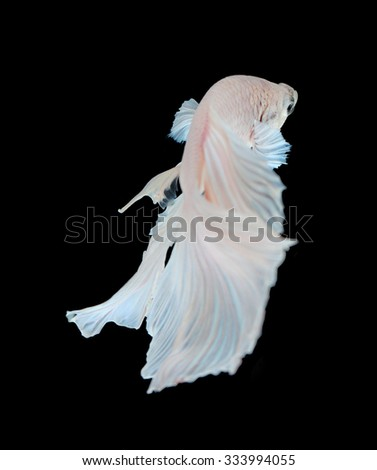 White siamese fighting fish, betta fish isolated on black background.