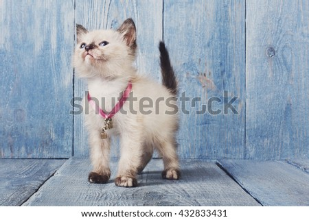 White siamese kitten with white chest. White cute kitten. Sweet adorable kitten on a serenity blue wood background. Small cat. Funny kitten with copyspace - stock photo