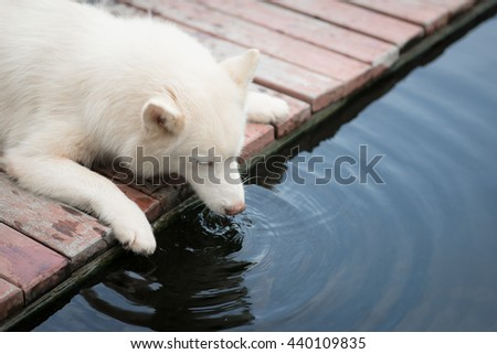 White siberian husky puppy lying and drinking water from koi pond