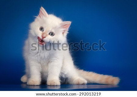 White Siberian kitten sitting and meows on a blue background - stock photo