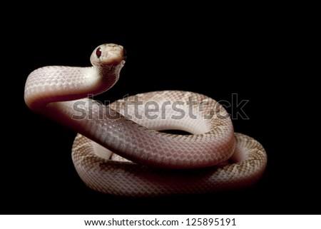 White-sided Florida king snake (Lampropeltis getula floridana) isolated on black background. - stock photo