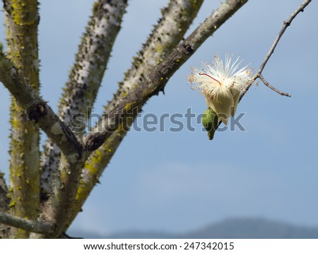 White silk cotton tree - The Latin name is Bombax anceps Pierre var. anceps