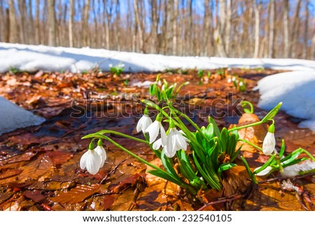 white snowdrops in a spring forest - stock photo