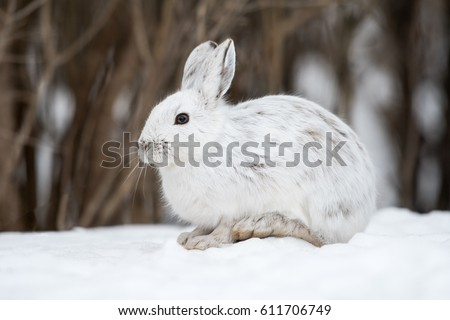 White Snowshoe Hare in Winter