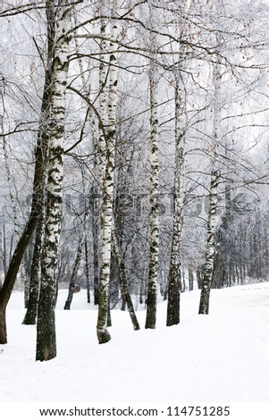 white snowy birch winter alley with row of trees snow hill - stock photo