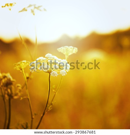 white soft big meadow flower on orange natural background. Autumn morning in field