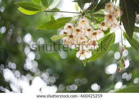 white soft flowers blooming down to the ground with bokeh morning background, Elaeocarpus  hygrophilus   Kurz - stock photo