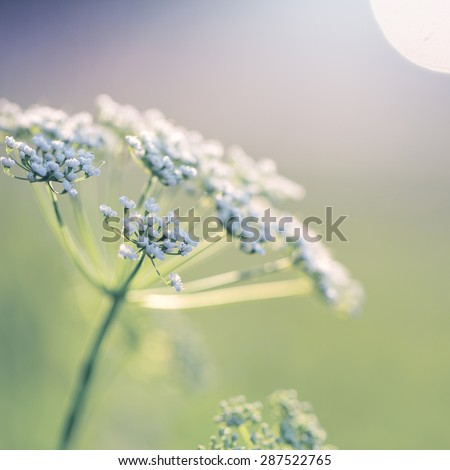 white soft flowers in morning light - stock photo
