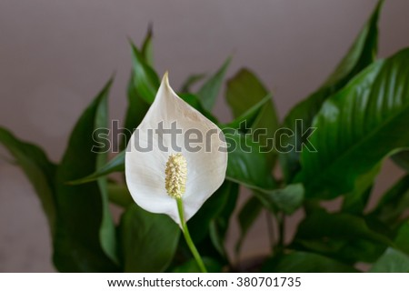White spathiphyllum with green leaves in blossom  - stock photo