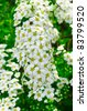 White Spiraea (Meadowsweet) Flowers - stock photo