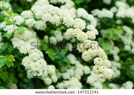 White Spirea flower - stock photo
