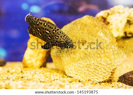 White spotted grouper (Epinephelus caeruleopunctatus) in the coral reef - stock photo