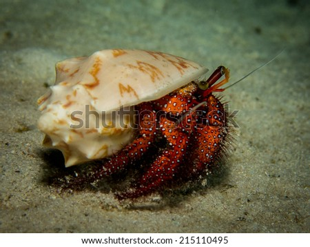 White-spotted Hermit Crab - Dardanus megisto, during a night dive, on the sandy bottom. - stock photo