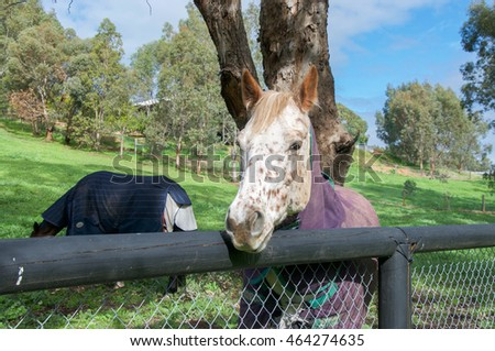 White spotted horse with strawberry blond mane in peaceful farmland in Western Australia/ Strawberry Blond Horse/Swan Valley, Western Australia