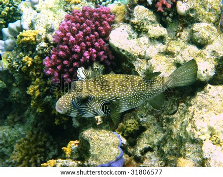 White-spotted puffer and coral