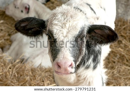 white spotted young cow calf in hay - stock photo