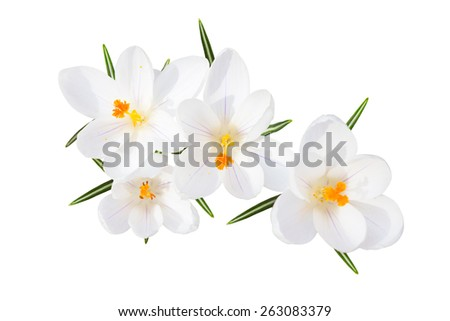 White spring blossom of sunlit crocus tender flowers with leaves isolated top view - stock photo