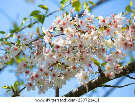 White Spring Blossoms of Cherry. Flowers Outdoor - stock photo