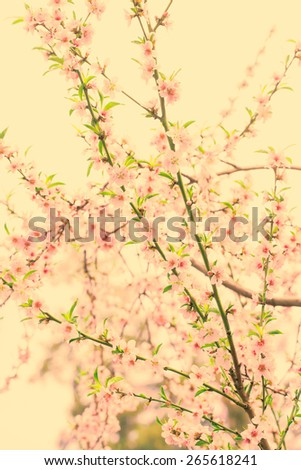 White Spring Blossoms of Cherry. Toned.  - stock photo