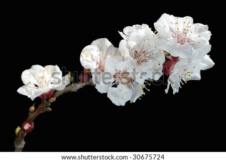 White Spring blossoms on young tree against black background, shallow DOF - stock photo