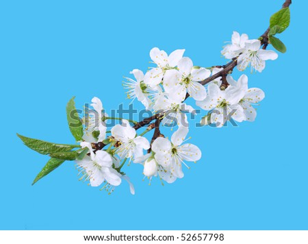 White spring cherry tree blossoms isolated on blue background