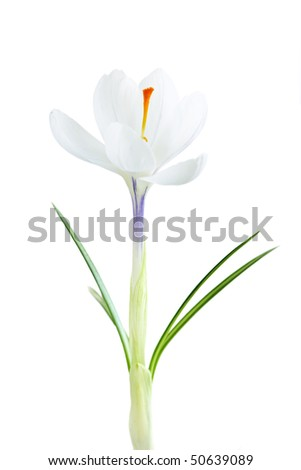 White spring crocus flower isolated on white background