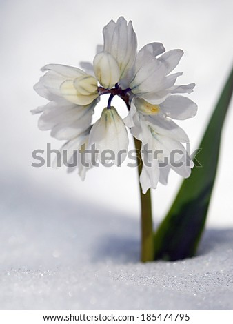 white spring flower in the snow on