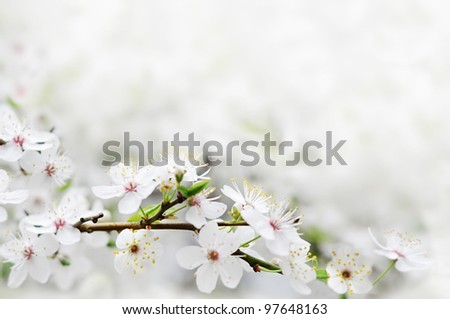 white spring flowers on a tree branch over grey sunny bokeh background close-up - stock photo