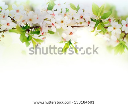 white spring flowers on a tree branch over white background