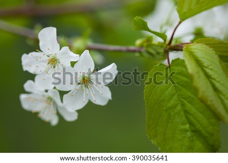 White spring flowers. Spring blossoming of an apple-tree. Spring blossoming of cherry. The blossoming apple-tree. The blossoming cherry. The blossoming apricot. - stock photo