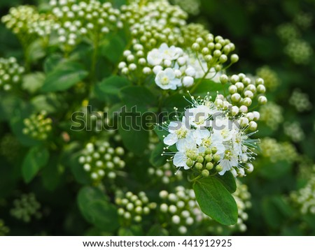 White spring Spirea flowers. Blooming spring bush under sunlight - stock photo