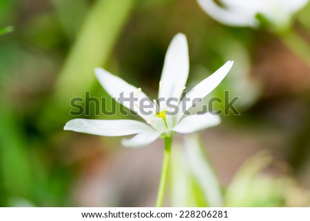 White spring starflower, Ipheion uniflorum