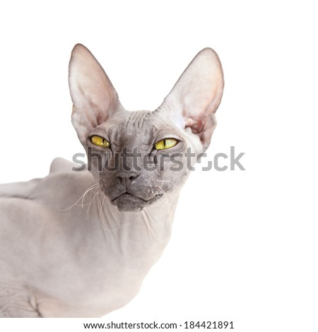 White square background with Donsphinx cat isolated on the white - stock photo