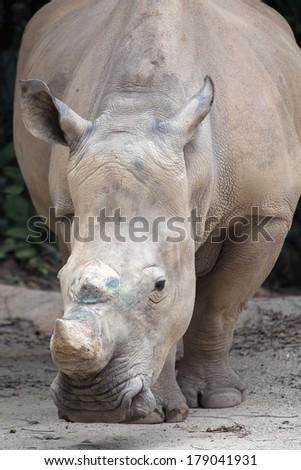 White Square-Lipped African Rhinoceros Closeup Portrait - stock photo