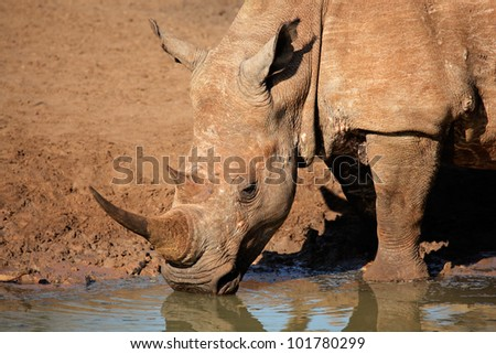 White (square-lipped) rhinoceros (Ceratotherium simum) drinking water, Mkuze game reserve, South Africa - stock photo