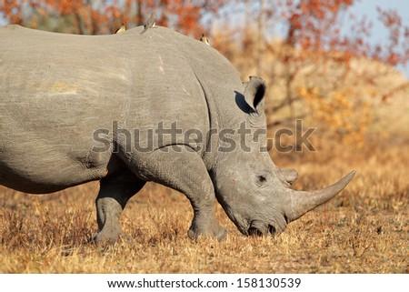 White (square-lipped) rhinoceros (Ceratotherium simum), South Africa  - stock photo