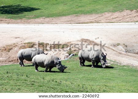 White (square-lipped) rhinoceros, South Africa - stock photo