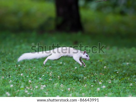 White squirrel leaping over clover