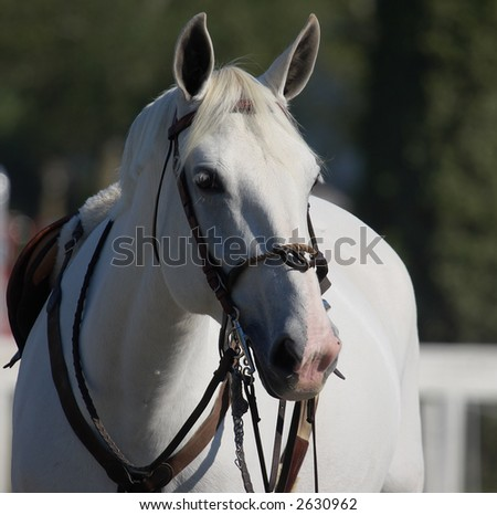White stallion at local showjumping competition - stock photo