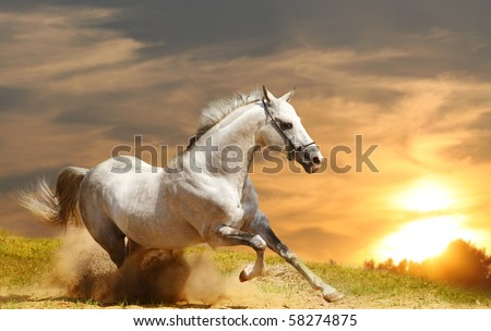 white stallion in sunset - stock photo