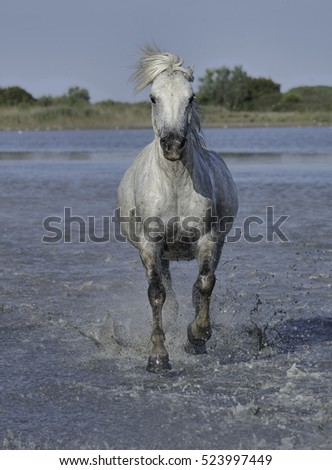 White Stallion Running Through the Water